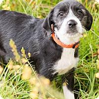 Schnauzer (Standard)/Australian Terrier Mix Puppy for adoption in Seattle, Washington - Bailey