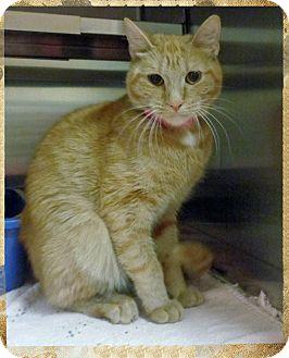 Domestic Shorthair Cat for adoption in Marietta, Georgia - MIA (R)