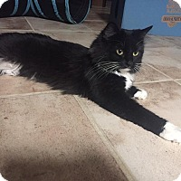 Domestic Mediumhair Cat for adoption in St. Louis, Missouri - Mia