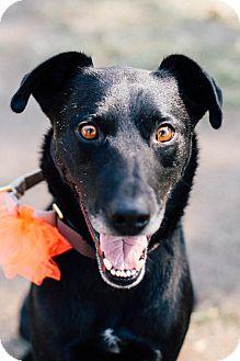Labrador Retriever/Australian Kelpie Mix Dog for adoption in Los Angeles, California - Booker *courtesy listing