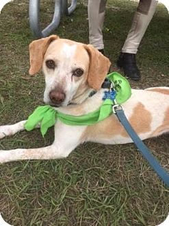 Beagle/Terrier (Unknown Type, Small) Mix Dog for adoption in Loxahatchee, Florida - Sweetie