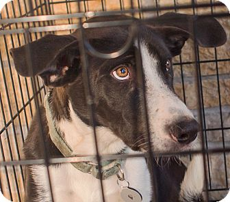 """Border Collie Mix Puppy for adoption in Richfield, Wisconsin - Oreo """"Love me Forever"""""""