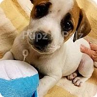 Adopt A Pet :: Dodger - Modesto, CA