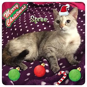 Siamese Cat for adoption in Harrisburg, North Carolina - Spree