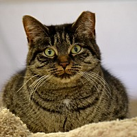 Adopt A Pet :: Chatty Cathy - Byron Center, MI