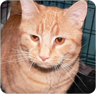 Domestic Shorthair Cat for adoption in Putnam Valley, New York - Mikey