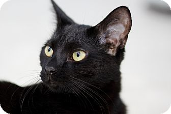 Domestic Shorthair Cat for adoption in Chicago, Illinois - Marco