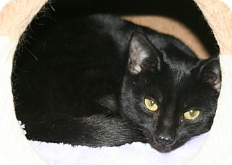 Domestic Shorthair Cat for adoption in Edmonton, Alberta - Ebony