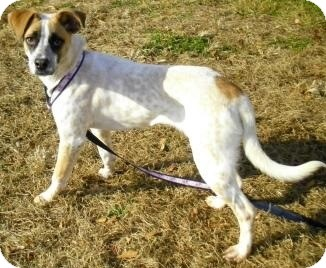 Cattle Dog Mix Dog for adoption in Acushnet, Massachusetts - Rockette