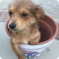 Adopt A Pet :: STELLA - Mission Viejo, CA