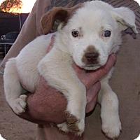 Adopt A Pet :: HOLIDAY PUPS H - Corona, CA