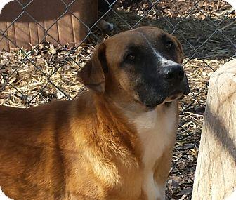 Boxer Mix Dog for adoption in Gaffney, South Carolina - Marty- family dog
