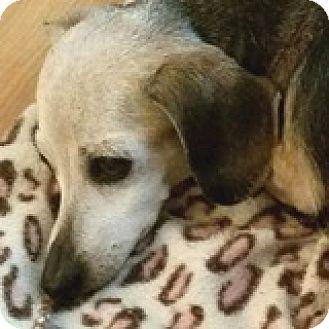 Dachshund Dog for adoption in Houston, Texas - Heidi Slider