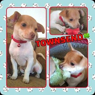Chihuahua Mix Puppy for adoption in Scottsdale, Arizona - Townsend
