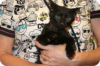 Domestic Shorthair Kitten for adoption in Wildomar, California - Janet