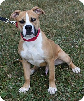 Boxer Mix Dog for adoption in Valparaiso, Indiana - Sam