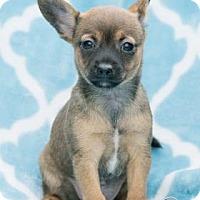 Chihuahua Mix Puppy for adoption in Santa Fe, Texas - Sooki
