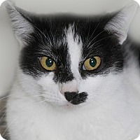 Domestic Shorthair Cat for adoption in Verona, Wisconsin - 'Stache