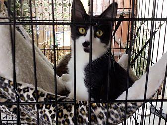 Domestic Mediumhair Kitten for adoption in Monrovia, California - Sumi