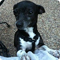 Chihuahua Mix Dog for adoption in Allen, Texas - Cassie