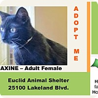 Domestic Shorthair Cat for adoption in Euclid, Ohio - Maxine