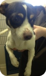 Chihuahua Mix Dog for adoption in Justin, Texas - Stark