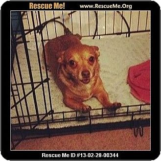 Chihuahua Dog for adoption in Temecula, California - Zoe