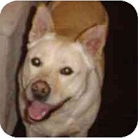 Shiba Inu/Shepherd (Unknown Type) Mix Dog for adoption in Houston, Texas - Sugar