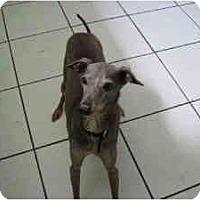 Adopt A Pet :: Romeo - OC - Costa Mesa, CA