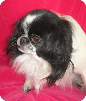 Japanese Chin Dog for adoption in Aurora, Colorado - Rocco