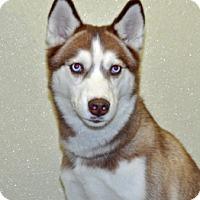 Adopt A Pet :: Loki - Port Washington, NY