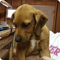 Adopt A Pet :: Boxer Mix Pup - Duffy - Midlothian, VA