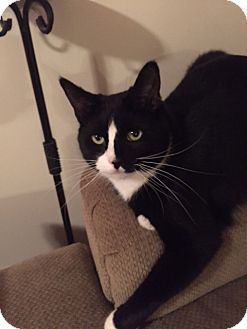 Domestic Shorthair Cat for adoption in Devon, Pennsylvania - AF-Leo