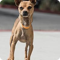 Adopt A Pet :: Petyr - Las Vegas, NV