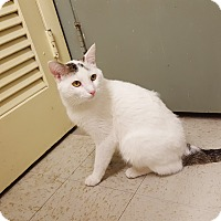 Domestic Shorthair Cat for adoption in Indianola, Iowa - Bob