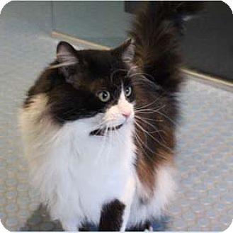 Domestic Longhair Cat for adoption in Verdun, Quebec - Noireau