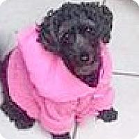 Adopt A Pet :: Chica - Boulder, CO
