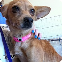 Chihuahua Mix Dog for adoption in Las Vegas, Nevada - Bambi