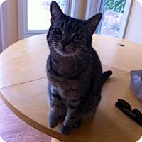 Adopt A Pet :: Harlow - Novato, CA