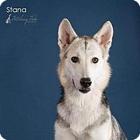 Siberian Husky Dog for adoption in Carrollton, Texas - Stana