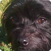 Yorkie, Yorkshire Terrier/Terrier (Unknown Type, Medium) Mix Dog for adoption in Custer, Washington - Bear
