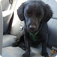 Patterdale Terrier (Fell Terrier)/Dachshund Mix Dog for adoption in San Bernardino, California - Ebony
