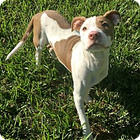 American Staffordshire Terrier/Boxer Mix Puppy for adoption in San Jose, California - Niki