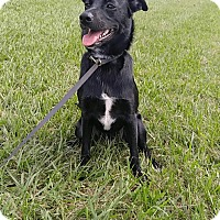 Labrador Retriever/Border Collie Mix Puppy for adoption in Vancouver, British Columbia - A - JASMINE