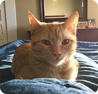 Domestic Shorthair Cat for adoption in Lander, Wyoming - Ginger