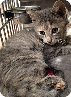 Domestic Shorthair Kitten for adoption in Covington, Kentucky - Poppy