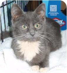 Domestic Shorthair Kitten for adoption in Raritan, New Jersey - Bradley