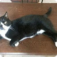 Adopt A Pet :: Tux - Harrisonburg, VA