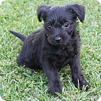 Adopt A Pet :: Taylor - La Habra Heights, CA