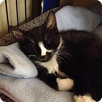 Adopt A Pet :: Oreo - Island Park, NY